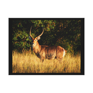Waterbuck male antelope Okavango Delta Canvas Print