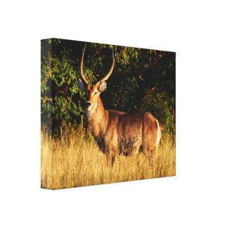 Waterbuck male antelope Okavango Delta Stretched Canvas Print