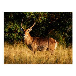 Waterbuck - tarjetas de felicitación del safari postales