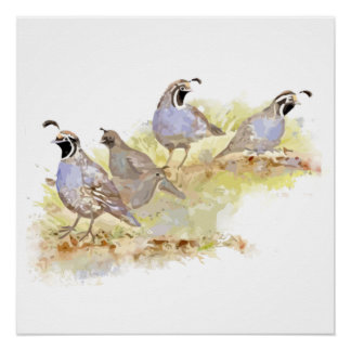 Watercolor California Quail State Bird Nature art Poster