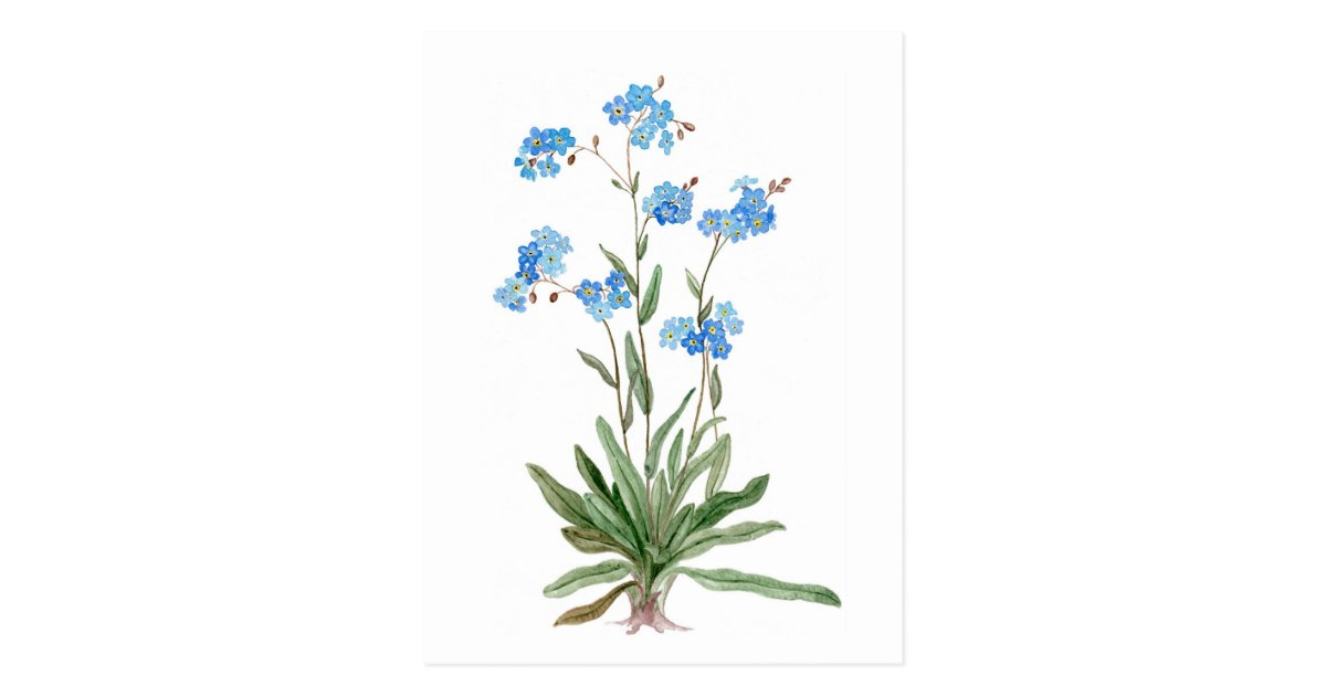 Watercolor Drawing Of Forget Me Not Flower Postcard