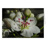Watercolor Pear Blossom Note Card