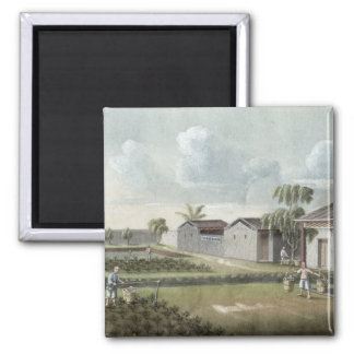 Watering tea plants (w/c on paper) magnet