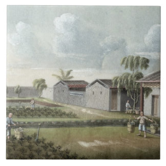 Watering tea plants (w/c on paper) tile