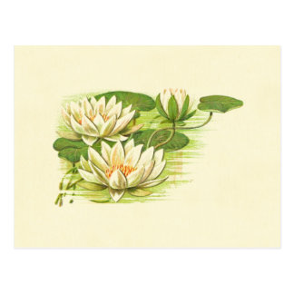 Waterlilies blanco postales