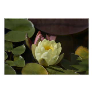 Waterlily amarillo en poster tranquilo de la