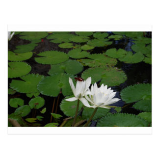 waterlily flower Nymphaea Post Cards