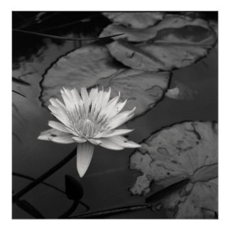 Waterlily in bloom poster