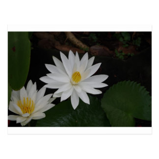 Waterlily Nymphaea Postcards