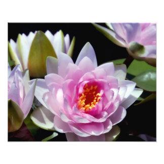 Waterlily Photo Print