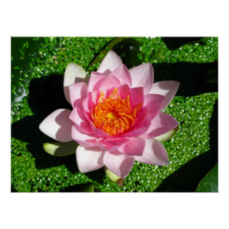 Waterlily Póster