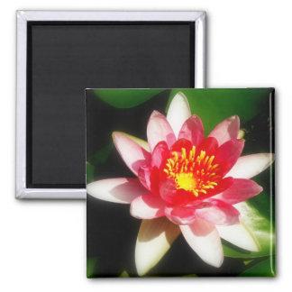 Waterlily rosado imán cuadrado
