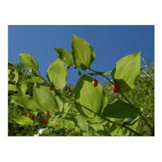 Watermelon Berries, Unalaska Island Postcard
