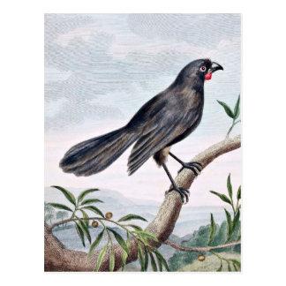 Wattlebird Vintage Bird Illustration Postcard