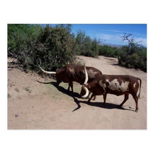 Watusi Ankole Cattle Postcard
