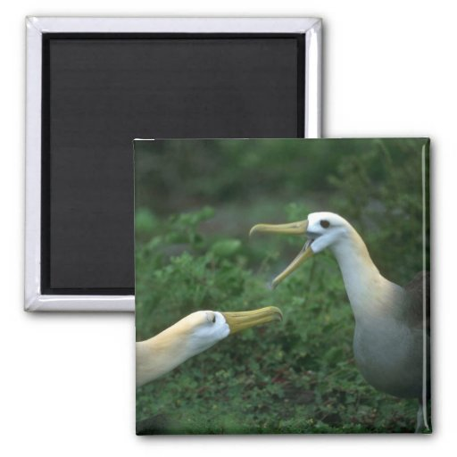 Waved Albatross In Courtship 2 Inch Square Magnet
