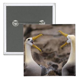 Waved albatross Phoebastria irrorata) pair in Button