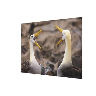 Waved albatross Phoebastria irrorata) pair in Canvas Print