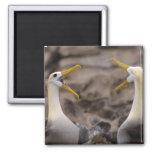 Waved albatross Phoebastria irrorata) pair in 2 Inch Square Magnet