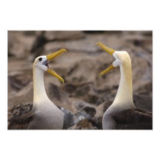 Waved albatross Phoebastria irrorata) pair in Photo Print