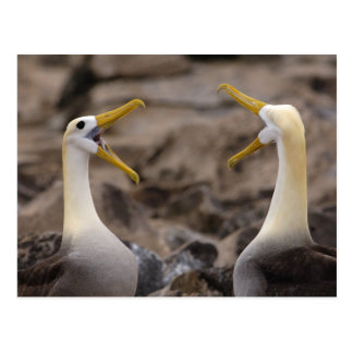 Waved albatross Phoebastria irrorata) pair in Postcard
