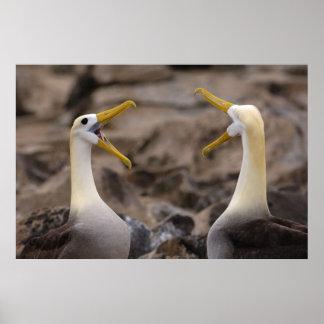 Waved albatross Phoebastria irrorata) pair in Poster