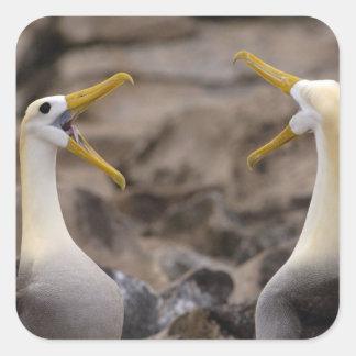 Waved albatross Phoebastria irrorata) pair in Square Sticker