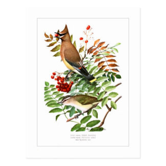 Waxwing and Vireo Postcard