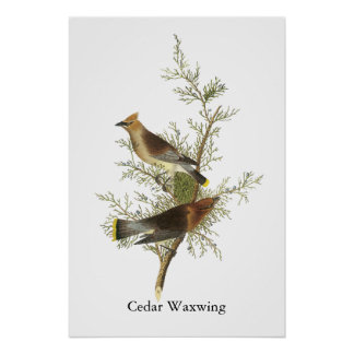 Waxwing de cedro Juan Audubon Posters