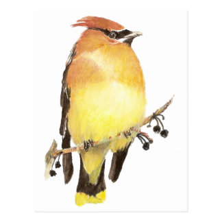 Waxwing de cedro, pájaro de la acuarela tarjetas postales