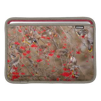 Waxwings bohemios que alimentan en la ceniza de funda macbook air