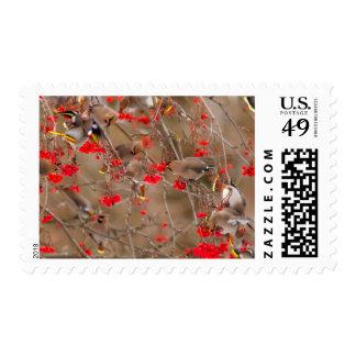 Waxwings bohemios que alimentan en la ceniza de sellos