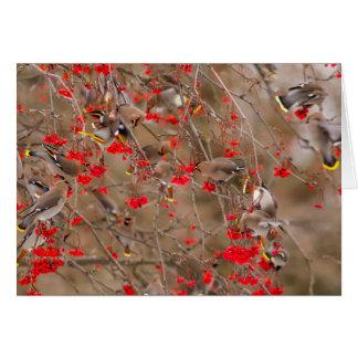 Waxwings bohemios que alimentan en la ceniza de tarjetas