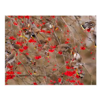 Waxwings bohemios que alimentan en la ceniza de postal