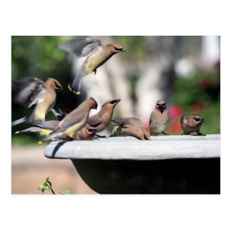 Waxwings de cedro en la postal del baño del pájaro