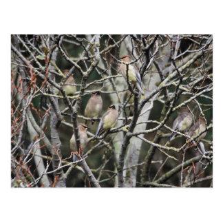 Waxwings de cedro en ramas postales
