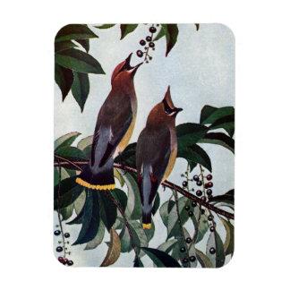 Waxwings de cedro en un cerezo negro salvaje imán