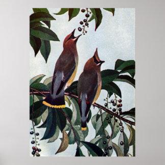 Waxwings de cedro en un cerezo negro salvaje póster