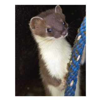 Weasel, Short-tailed Flyer