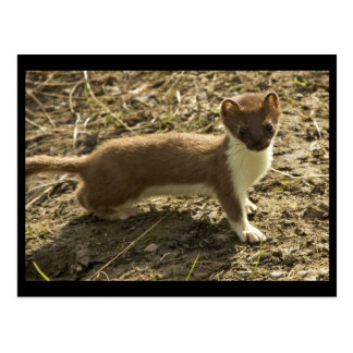 Weasel, Short-tailed Postcard