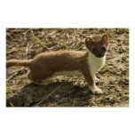 Weasel, Short-tailed Poster