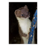 Weasel, Short-tailed Print