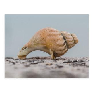 Weathered Sea Shell Postcard