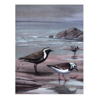 Weber's Plovers & Turnstones Postcard