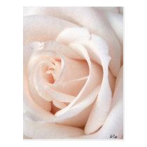 Wedding Rose Postcard