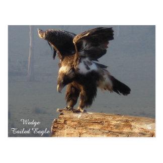 Wedge Tailed Eagle - Postcard