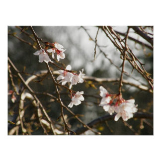 Weeping Cherry 2 Poster