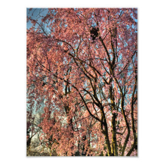Weeping cherry tree blossoming, Ohio Photo Print