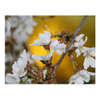 Weeping Cherry Tree Blossoms Postcard