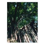 Weeping Fig Postcard